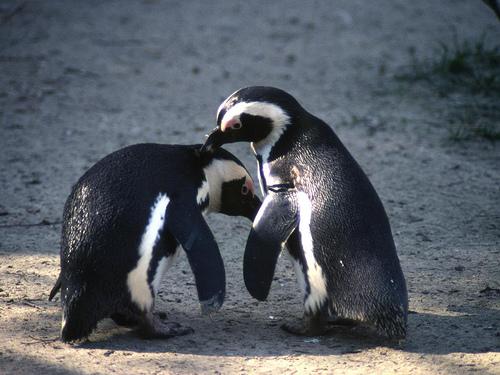 2頭のペンギン